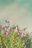 Closeup of lavender flowers with vintage color — Stock Photo