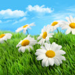 Daisies in grass against a blue sky — Stock Photo #4819465