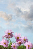 Cosmos flowers against a summer sky — Stock Photo