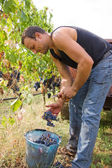 Grape harvest — Stock Photo