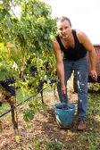 Grape harvest — Stock Photo