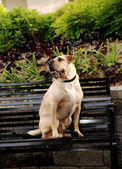 Sharpei dog sitting on bench. — Stock Photo