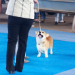 Welsh Corgi on a leash and its owner — Stock Photo