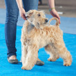 Wheaten terrier and a human hand — Stock Photo