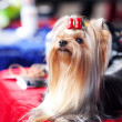 Portrait of Yorkshire terrier with bow sitting on a table — Stock Photo