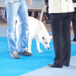 Akita Inu on the blue floor with his owner — Stock Photo