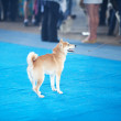 Shiba Inu on the blue floor with his owner — Stock Photo