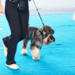 Schnauzer on a leash and its owner — Stock Photo