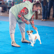 Stock Photo: SAMARA,RUSSIA-AUGUST 26:Russinational dogs exhibition of all