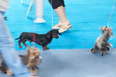 Dachshund and Yorkshire terriers on the blue floor — Stock Photo