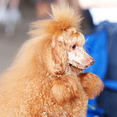 Portrait of a golden poodle sitting on the table — Stock Photo