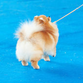 Pomeranian on a leash on the blue floor — Stock Photo
