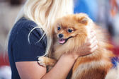 Pomeranian spitz at the hands of women — Stock Photo