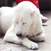 Portrait d'un gros chien blanc alabai — Photo