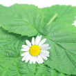 Chamomile and green leaves on white background - Stock Photo