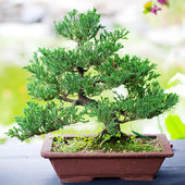 Beautiful juniper bonsai in a botanical garden — Stock Photo