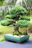 Beautiful juniper bonsai in a botanical garden — Stock Photo