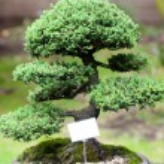 Beautiful juniper bonsai in a botanical garden — Stock Photo #23070054