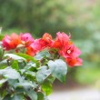 Beautiful bonsai bougainvillea in a botanical garden — Stock Photo #23070184
