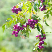 Tropical purple berries on a green branch — Stock Photo