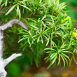 Beautiful bonsai in a botanical garden — Stock Photo