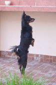 Black russian toy terrier standing on hind legs — Foto de Stock