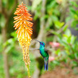 Beautiful blue green hummingbird flying over a tropical orange f — Stock Photo #24240807