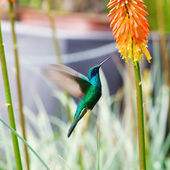 Beautiful blue green hummingbird flying over a tropical orange f — Zdjęcie stockowe