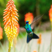 Beautiful blue green hummingbird flying over a tropical orange f — Stock Photo