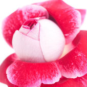 Ungewöhnlich schöne rote rose isoliert — Stockfoto