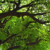 Jacaranda tree crown — Stock Photo