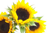 Bouquet of three sunflowers isolated on white — Stock Photo