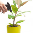 Ficus flower in a pot and spray gun in hand isolated on white — Stock Photo