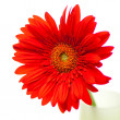 Stock Photo: Red gerbera isolated on white