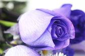 Fondo macro de hermosas rosas violetas — Foto de Stock