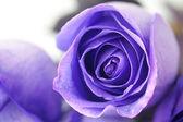 Makro pozadí krásné fialové růže — Stock fotografie