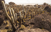 Cacti in Salar de Uyuni — Stock Photo