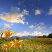 Daylily flower — Stock Photo