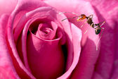 ANT on the flower — Stock Photo
