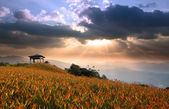 Daylily field in the mountain — Stock Photo