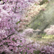 Sakura tree under the sunlingt — Stock Photo