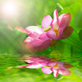 Beautiful Lotus for background use — Stock Photo