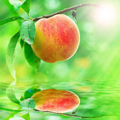 Peach growing rapprochement — Stock Photo