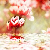 Tulipani che riflettono nell'acqua — Foto Stock