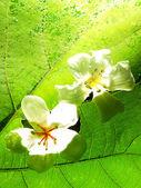 красивый цветок тунг — Стоковое фото