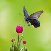 Tulips with butterfly — Stock Photo