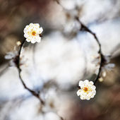 Spring background with plum flowers — Stock Photo
