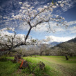 Beautiful spring blossoming plum — Stock Photo