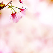 Branch with pink blossoms — Stock Photo