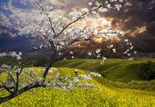 Nice landscape with sakura — Stock Photo